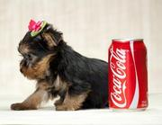 TWO YORKIE PUPPIES FOR FREE ADOPTION